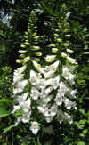Digitalis purpurea alba 5.jpg (136687 bytes)